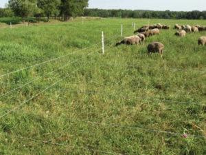 Электропастух для овец: плюсы и минусы установки