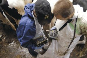 Как определить стельность коровы? Методы и необходимое оборудование